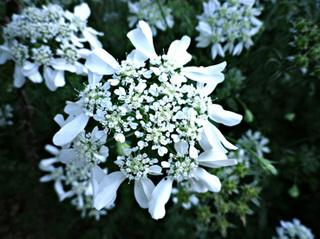 オルレア花.jpg